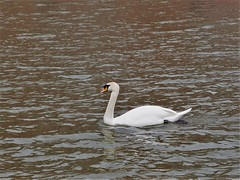 P4152051 (jjs-51) Tags: zwanen broekpolder swans