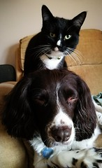Billy waiting for a massage from Sooty 😀 (SteveH1972) Tags: cat cats dog dogs inside indoor indoors black englishspringerspaniel spaniel huawei9plus p9 mobile plus