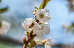 _DSC7500 (KateSi) Tags: cherryblossoms blossoms flowers fleurs blomster cherrytree spring vår primavera printemps white blanche blanco hvitt bees honeybee honeybees abeja abeille bie abejas biers abeilles nikon nikond90 depthoffield nature naturaleza natur