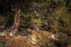 Renaissance Printanière des Sous-Bois de Savoie (Frédéric Fossard) Tags: paysage nature montagne alpes savoie vanoise tarentaise bois forêt sousbois arbre sapin rocher fontedesneiges printemps boisdelaramée plandetuéda lumière végétal grain texture lesallues mottaret méribel réservenaturelledetuéda