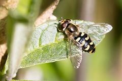 Eupeodes luniger / Grote Kommazweefvlieg (peter.lindenburg) Tags: hoverfly syrphidae zweefvlieg stevenshof leiden eupeodesluniger grotekommazweefvlieg
