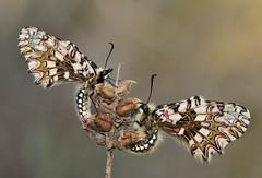 Zerynthia rumina (Lucas Gutiérrez) Tags: zerynthiarumina mariposaarlequín pareja posadero sierralújar
