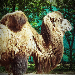 Bactrian Camel (Nightsampler) Tags: bactriancamel chesterzoo