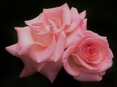 My Old Friends (trins) Tags: roses flowers myroses beautifulroses blooming fullbloom palepinkroses 2roses