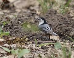 White Breasted Nuthatch (gmorient1@aol.com) Tags: birds centralpark newyork springmigration
