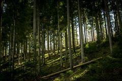 Promenons nous dans les bois (Kimoufli) Tags: bois foret forêt tree ombre shadow arbre nature paysage landscape nikon d5300 lightroom promenade balade wood forest lumière light printemps spring habay ardennes