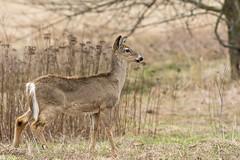 Chevreuil / Deer (ALLAN .JR) Tags: chevreuil deer nature wildlife spring ile stbernard quebec nikon animal