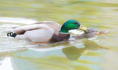 Life goe's on. (Omygodtom) Tags: wildlife wild mallard ducks portrait pond nikon70300mmvrlens nature natural digital nikon d7100 mating