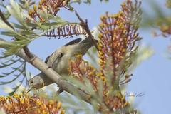 Blackcap (female) on Grevillea (David Lev) Tags: nirim mygarden grevillea australianplant bird