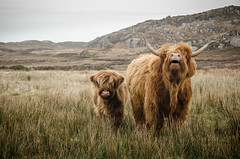In a field of coos, which one is off on holiday? (Ben McKeown .thebigbluetree.com) Tags: highlands scotland coast coastal cattle highland mull farm animals