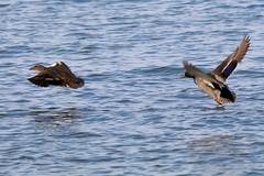 Mallards In Flight (Piedmont Fossil) Tags: sandypoint state park maryland wildlife bird duck chesapeake bay