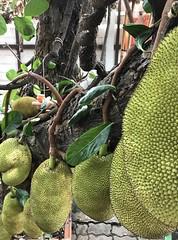 Jack fruit (biloxi_blues) Tags: jackfruit iphone thailand