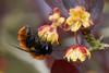 Tawny miner bee feeding on berberis flowers #3 (Lord V) Tags: macro bug insect bee minerbee andrena