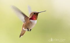 097A9647_edit_resized_wm (Lisa Snow Photography) Tags: rufous hummingbird malerufous