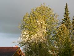 22042017 earth day (achatphoenix) Tags: spring springtime tree treetops april earthday2017 chestnut kastanie eastfrisia kirsche kirschblüte cherry sun sunrise earlymorningsun home