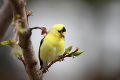American goldfinch (jlcummins - Washington State) Tags: home bird fauna yakimacounty washingtonstate canon tamronsp150600mmf563divcusd sunrays5 goldwildlife
