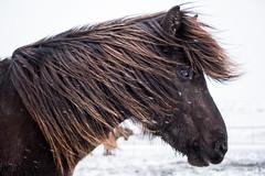 Blakkur - Icelandic Horse (NأT) Tags: horse horses cheval chevaux winter snow snowing neige vent wind islande iceland icelandic photo photographie photography potrait olympus omd em1 zuiko