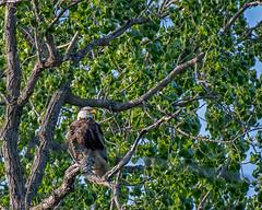 DSC_5513-Edit (alan.forshee) Tags: bald eagles turkeys raptors birds nature natural animals feathers beaks spurs predators prey fan hens gobblers jakes nest feed hunt