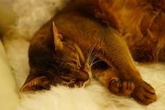 Lizzie dreaming (DizzieMizzieLizzie) Tags: abyssinian aby beautiful wonderful lizzie dizziemizzielizzie portrait cat chats feline gato gatto katt katze katzen kot meow mirrorless pisica sony a6500