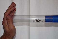 Captivity (**Anik Messier**) Tags: uk england spider trapped hand prison whitebackground harlow dual facetoface essex imprisonment captivity deadend repulsive housespider bugcatcher