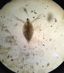 Zooplankton through the micoscope (BCWF Wetlands Education Program) Tags: nature community education conservation workshop environment wetland chasebc bcwf