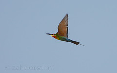 blue tailed bee eater (zahoor-salmi) Tags: camera pakistan macro nature birds animals canon lens photo tv google flickr natural action wildlife watch bbc punjab wwf salmi walpapers chanals discovry beutty bhalwal zahoorsalmi thewonderfulworldofbirds blinkagain