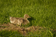 jonge grauwe gans / young greylag goose (nature photography by 3620ronny.be) Tags: holland nature netherlands canon nest nederland natuur gras zon kinderdijk naturephotography zuidholland greylaggoose natuurgebied southholland grauwegans youngbirds grauweganzen nieuwlekkerland canon7d 3620ronny canonef300mmlf4 younggreylaggoose