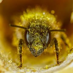 face it.. (markhortonphotography) Tags: flower macro canon insect gold eyes surrey 100mm bee coco 7d pollen f28 ringflash deepcut surreyheath raynox raynox250 osmiarufa redmasonbee eos7d osmiabicornis