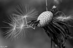 Almost left home ! (NSJW photos) Tags: bw macro dandelion seeds