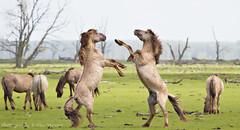 Fighting Konik-Horses (Alex Verweij) Tags: wild horses nature canon natuur 7d fighting polder flevoland lelystad almere paard paarden hors vechten excursie oostvaardersplassen konik rubensmit alexverweij stijgeren denieuwewildernis