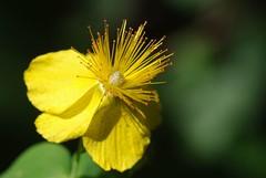 Pelouse fleurie (Col de la Core/Arige) (PierreG_09) Tags: fleur plante flor col pelouse flore pyrnes pirineos arige seix couserans lacore coldelacore millepertuistachet hypericulmaculatum