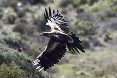 Wedge-tailed Eagle (Aquila audax (Doublebar) Tags: australianbirds eagle224wedgetailed