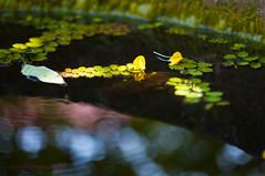 Floating Garden (sydbad) Tags: travel flower macro green yellow canon garden fun eos photo photos floating 100mm f28 kelantan pasirputeh 5dmkii