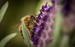 botanic gardens (zateom) Tags: macro dragonfly bees australia bee nsw grasshopper damselfly botanicgardens