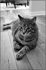 Jackson, September 01, 2013 (Maggie Osterberg) Tags: bw cat blackwhite nebraska suburban jackson lincoln gr ricoh maggieo silverefexpro2 183mmf28
