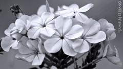 Azul ndigo (jaime.serrano69) Tags: naturaleza flores blancoynegro luz closeup rural ecuador flor natura micro andes silvestre detalles exteriores efectos campia manipulacin monocolor duotono pias acercamiento entorno