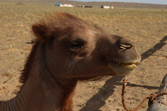 Camels - Omnogovi, Mongolia (Myriam Bardino) Tags: mountains sand desert mongolia sands camels els gobi journeys nomadic khongoryn gurvan saikhan omnogovi nomadicjourneys hongor khongorynelsthesingingdunes