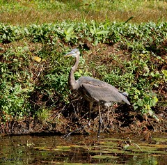 Great Blue Heron (Kooklamou - MA., USA) Tags: water beautiful sunshine big fishing sunday greatblueheron whatathrill