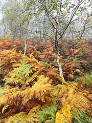 Silvery [14] (matrobinsonphoto) Tags: wood autumn trees cloud mist tree colors beautiful weather fog silver woodland landscape grey woods october scenery colours estate view cloudy heather district derbyshire south yorkshire mother peak cap surprise moors gorge bracken birch ferns miserable quarry autumnal birches longshaw visibility moorland padley hathersage grindleford