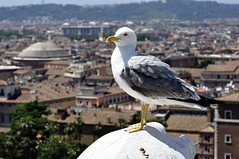 Roman Seagull and The Pantheon (Crumblin Down) Tags: city roof light italy panorama sun sunlight vatican rome roma bird art rooftop church monument fountain statue skyline four italian ancient italia stitch marcus flag gull forum 4 paintings pantheon panoramic aerial victor colosseum rivers dome rays piazza michelangelo venezia bernini vitor emmanuel emanuel maximus aurelius navona emmanuelle spqr arelius auerilius cal2014