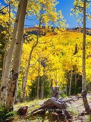 _MG_3117_HDR_1 (tcorey1425) Tags: trees arizona color fall leaves meadow basin inner aspens wilderness peaks hikingtrail lockett kachina flagstaffarizona sanfransiscopeaks