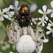 Veränderliche Krabbenspinne mit Goldfliegenbeute