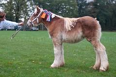 DSC_6693 (Ton van der Weerden) Tags: horses horse dutch de cheval belgian nederlands belges draft chevaux belgisch trait trekpaard trekpaarden ckcentralekeuringsintoedenrodemaximavantclerckshofmerr ckcentralekeuringsintoedenrodemaximavantclerckshofmerrieveulens
