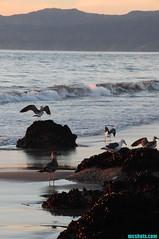 JettyGulls (mcshots) Tags: ocean california autumn sunset sea usa seagulls bird beach nature water birds reflections evening sand gull jetty stock feathers socal lowtide sands mcshots seabirds losangelescounty