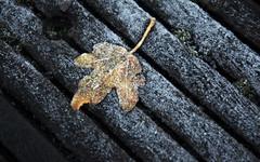Start of winter (stefanko31) Tags: autumn winter fall season leaf nikon frost icy d7100 nikond7100