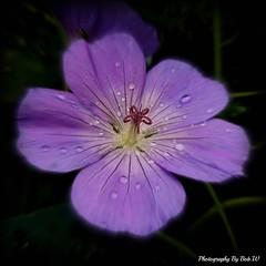 Spotlight on Miss Geranium (Bob.W) Tags: ngc geranium mygearandme