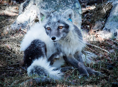 Have an itch, but cannot relax. Danger always near. (nemi1968) Tags: summer portrait norway closeup fur nose eyes ngc july ears npc fox endangered langedrag alopexlagopus polarfox markiii whitefox snowfox ef100400mmf4556lisusm vulpeslagopus canon5dmarkiii vision:mountain=0743 vision:outdoor=0971 vision:sky=081 arcticcanon
