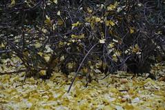 Leaves (Isabelita ~Singlemom Busy on or off :)) Tags: work hobby housework happylife singlemom winter2013 themommies