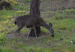 Asilomar deer 1 (afagen) Tags: california deer pacificgrove asilomar montereypeninsula asilomarconferencegrounds
