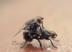 Making Love (Sulafa) Tags: insect makinglove ذبابة تزاوج بعوض